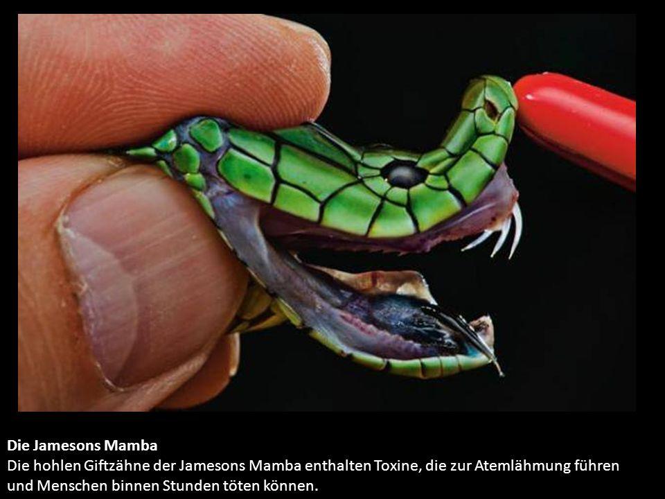 Die Jamesons Mamba Die hohlen Giftzähne der Jamesons Mamba enthalten Toxine, die zur Atemlähmung führen und Menschen binnen Stunden töten können.
