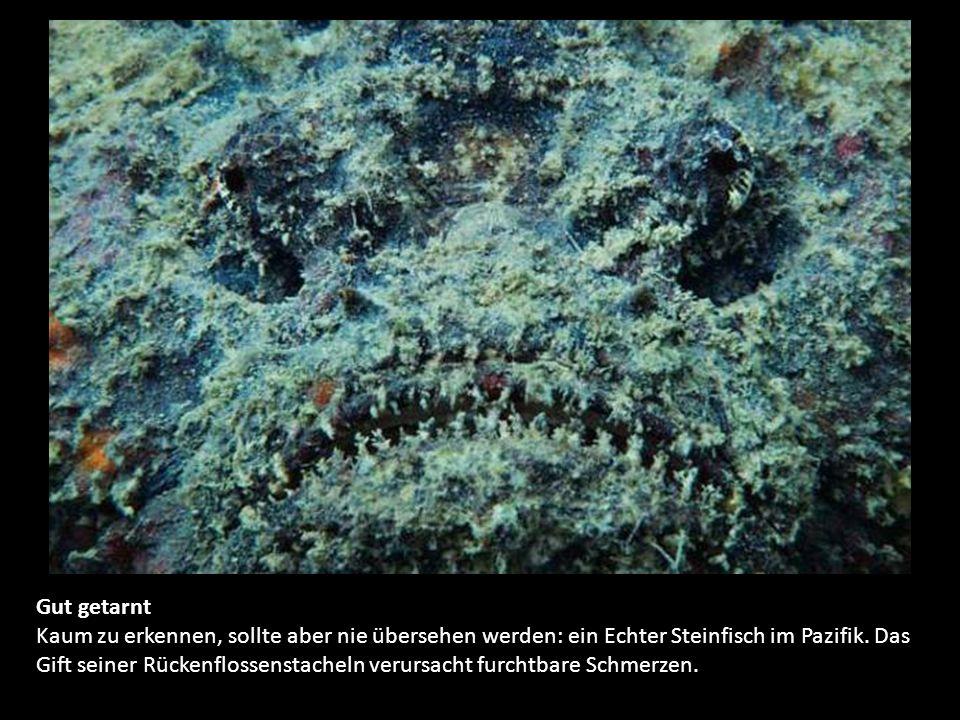 Gut getarnt Kaum zu erkennen, sollte aber nie übersehen werden: ein Echter Steinfisch im Pazifik.