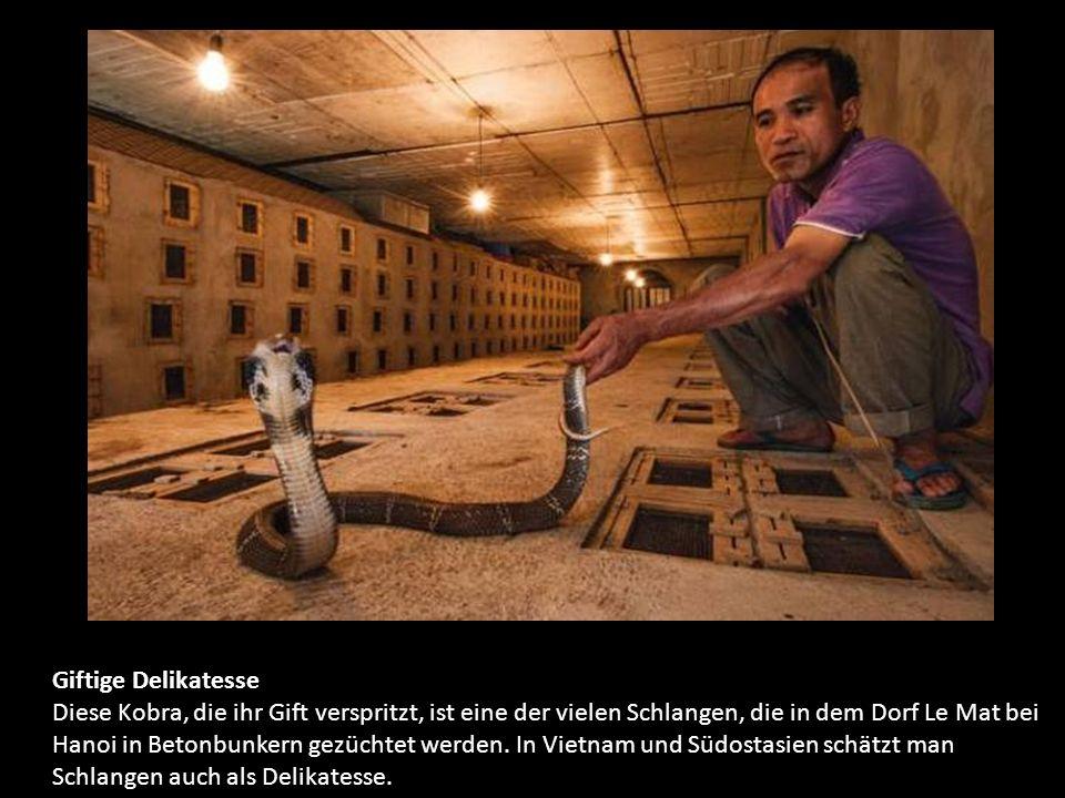 Giftige Delikatesse Diese Kobra, die ihr Gift verspritzt, ist eine der vielen Schlangen, die in dem Dorf Le Mat bei Hanoi in Betonbunkern gezüchtet werden.