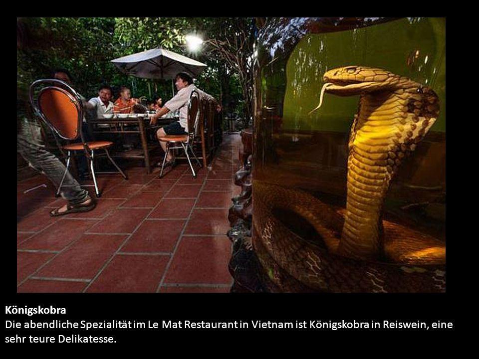 Königskobra Die abendliche Spezialität im Le Mat Restaurant in Vietnam ist Königskobra in Reiswein, eine sehr teure Delikatesse.