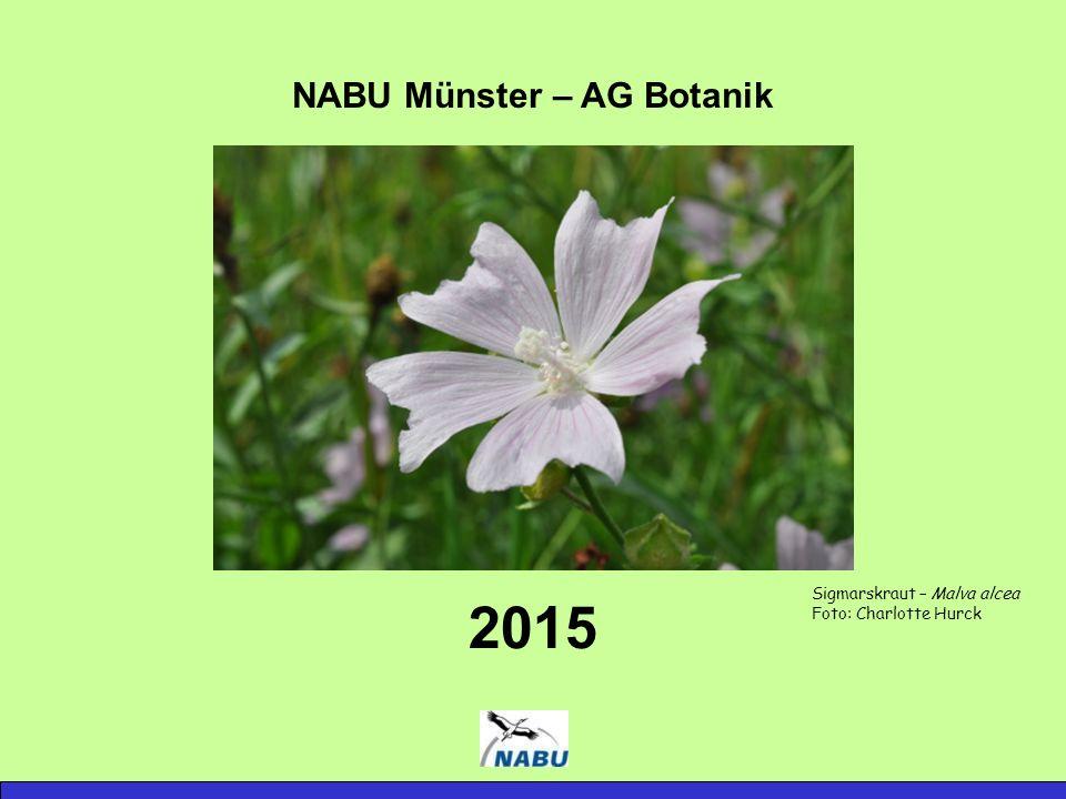 NABU Münster – AG Botanik 2015 Sigmarskraut – Malva alcea Foto: Charlotte Hurck