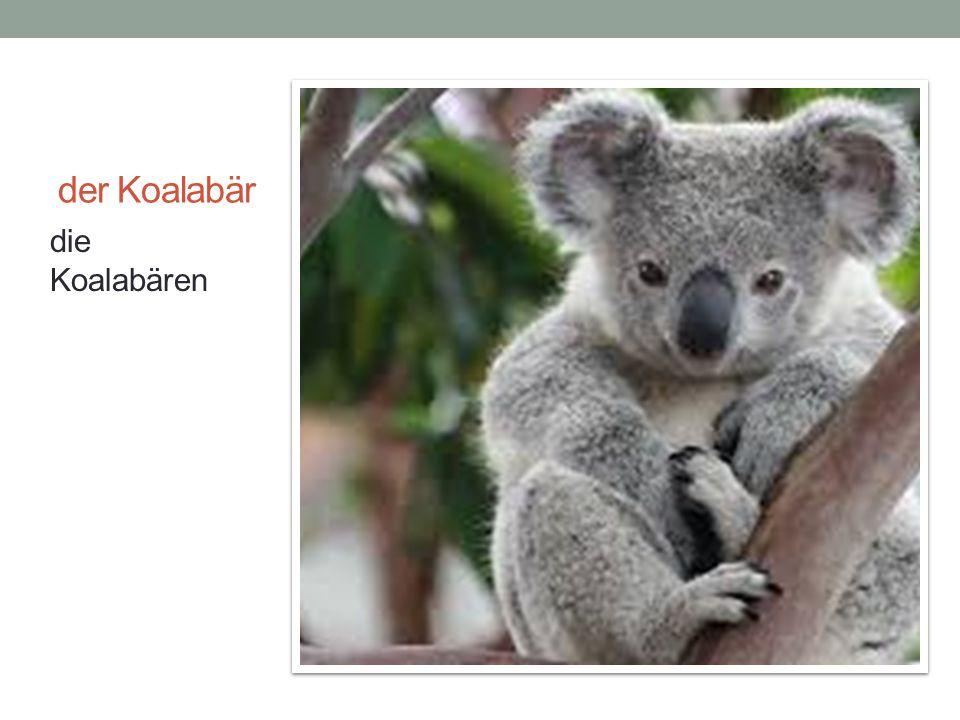 der Koalabär die Koalabären