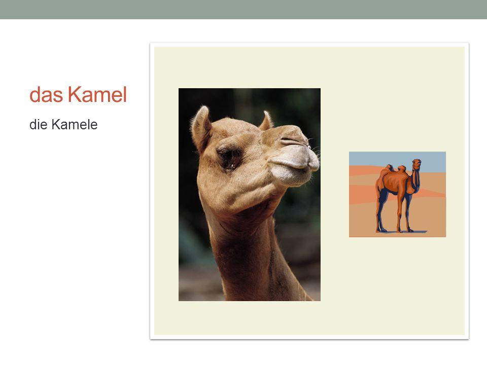 das Kamel die Kamele