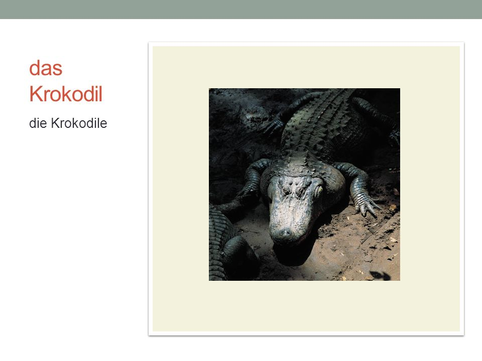 das Krokodil die Krokodile