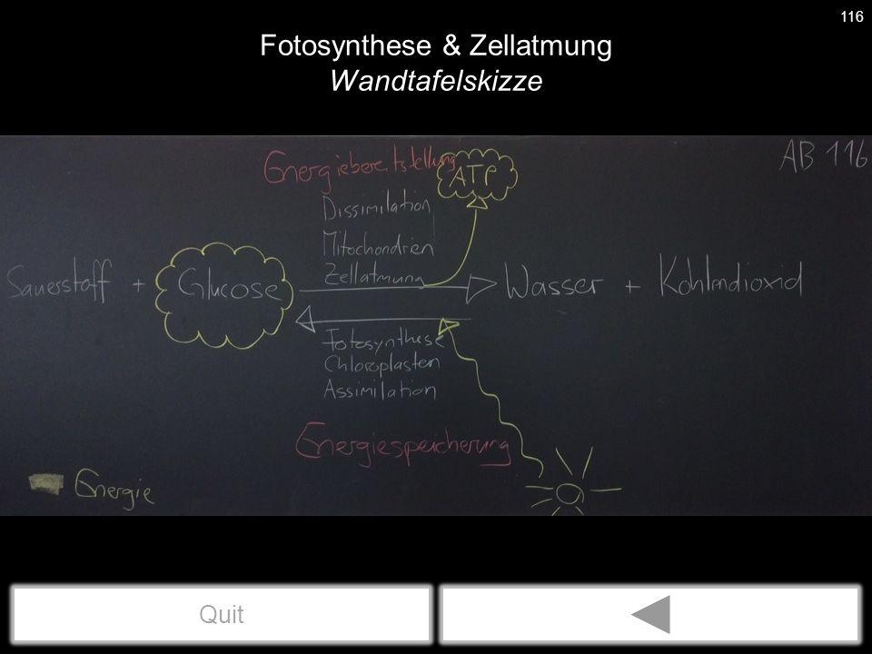 Fotosynthese & Zellatmung Wandtafelskizze 116 Quit