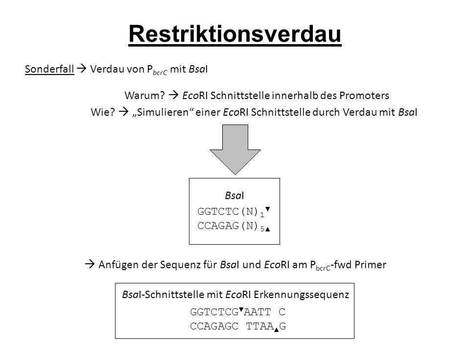 Restriktionsverdau Sonderfall  Verdau von P bcrC mit BsaI Warum.