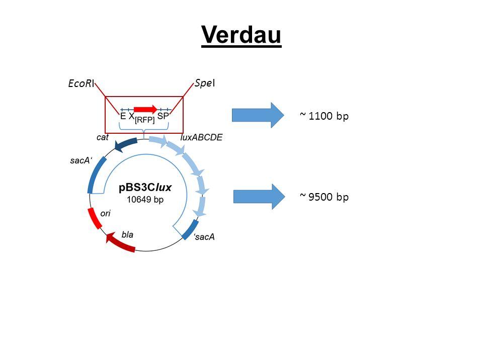 Verdau ~ 1100 bp SpeI EcoRI ~ 9500 bp