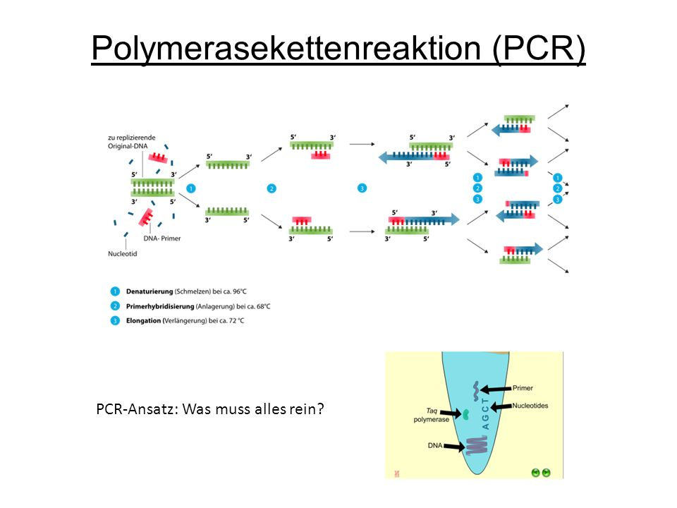 Polymerasekettenreaktion (PCR) PCR-Ansatz: Was muss alles rein?