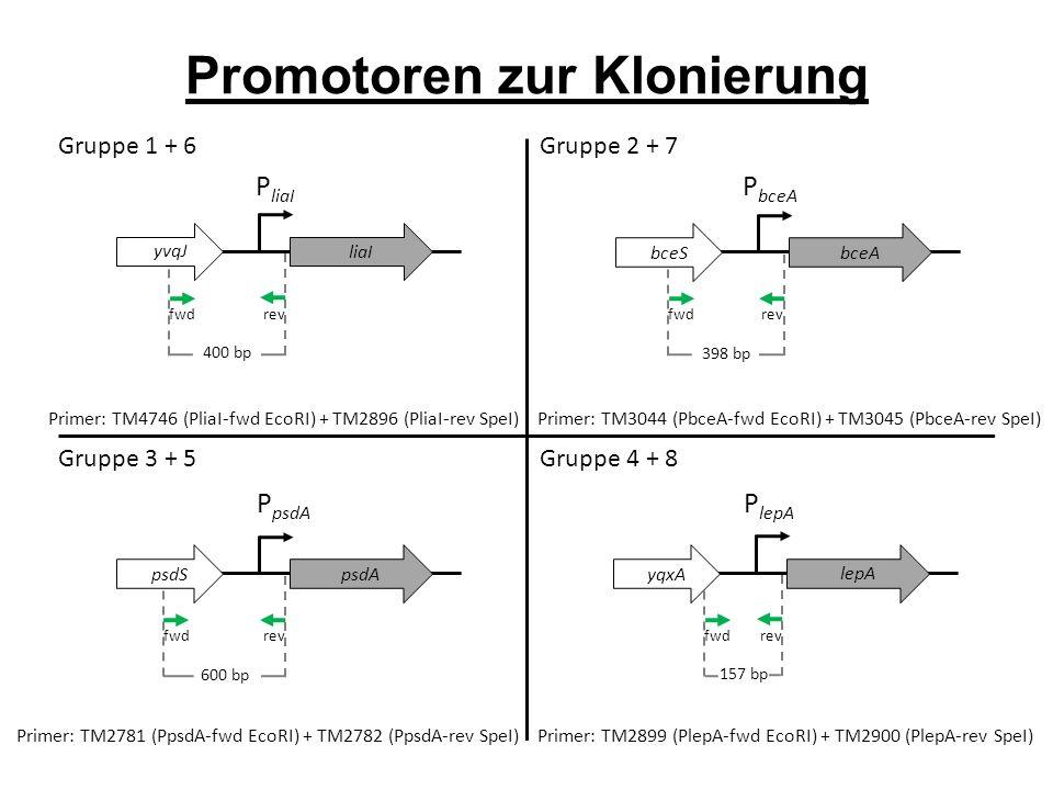 P liaI P bceA fwd rev Promotoren zur Klonierung liaI Primer: TM4746 (PliaI-fwd EcoRI) + TM2896 (PliaI-rev SpeI) 400 bp fwd rev bceA yvqJ Primer: TM3044 (PbceA-fwd EcoRI) + TM3045 (PbceA-rev SpeI) 398 bp yvqJ bceS Primer: TM2781 (PpsdA-fwd EcoRI) + TM2782 (PpsdA-rev SpeI) P psdA P lepA fwd rev psdA yvqJ 600 bp psdS fwd rev lepA yvqJ 157 bp yqxA Primer: TM2899 (PlepA-fwd EcoRI) + TM2900 (PlepA-rev SpeI) Gruppe 1 + 6 Gruppe 2 + 7 Gruppe 3 + 5 Gruppe 4 + 8