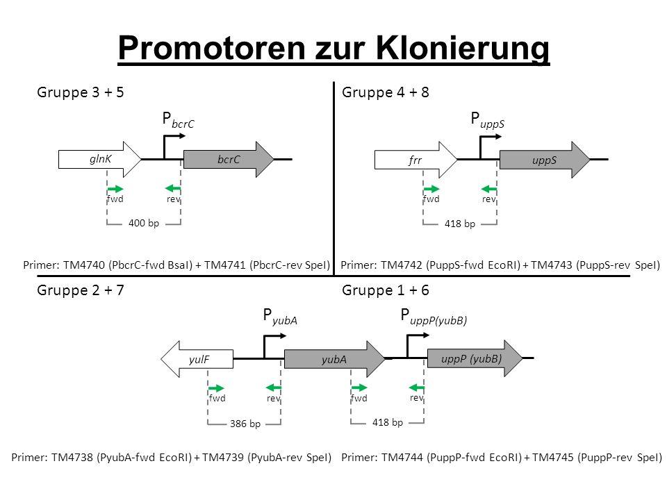 P bcrC P uppS fwd rev Promotoren zur Klonierung bcrC Primer: TM4740 (PbcrC-fwd BsaI) + TM4741 (PbcrC-rev SpeI) 400 bp fwd rev uppS yvqJ Primer: TM4742 (PuppS-fwd EcoRI) + TM4743 (PuppS-rev SpeI) 418 bp glnK frr P yubA P uppP(yubB) fwd rev yvqJ 386 bp yulF Primer: TM4738 (PyubA-fwd EcoRI) + TM4739 (PyubA-rev SpeI) fwd rev uppP (yubB) 418 bp Primer: TM4744 (PuppP-fwd EcoRI) + TM4745 (PuppP-rev SpeI) yubA Gruppe 2 + 7 Gruppe 1 + 6 Gruppe 3 + 5 Gruppe 4 + 8