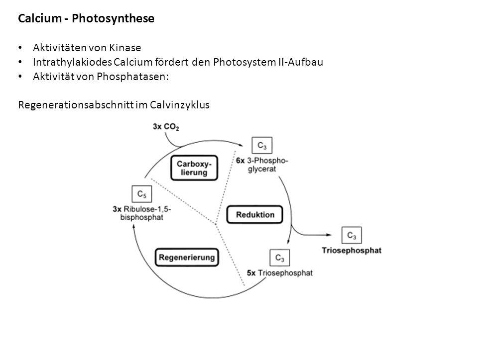 Calcium - Photosynthese Aktivitäten von Kinase Intrathylakiodes Calcium fördert den Photosystem II-Aufbau Aktivität von Phosphatasen: Regenerationsabschnitt im Calvinzyklus