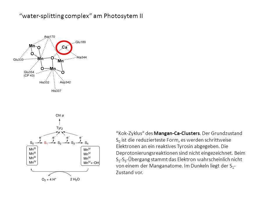 water-splitting complex am Photosytem II Kok-Zyklus des Mangan-Ca-Clusters.