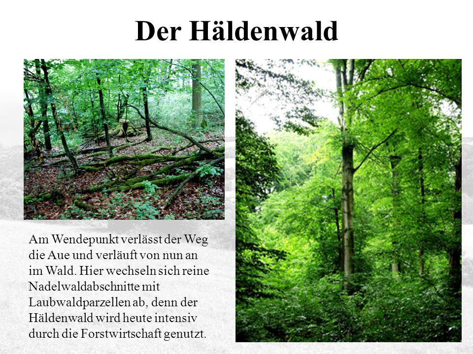 Der Häldenwald Am Wendepunkt verlässt der Weg die Aue und verläuft von nun an im Wald.