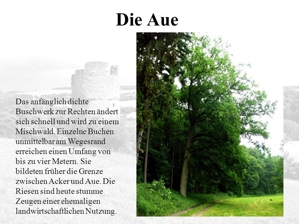 Die Aue Das anfänglich dichte Buschwerk zur Rechten ändert sich schnell und wird zu einem Mischwald.