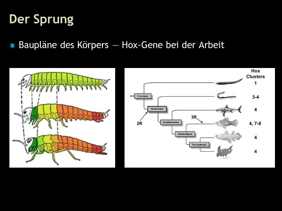 32 Der Sprung Baupläne des Körpers — Hox-Gene bei der Arbeit