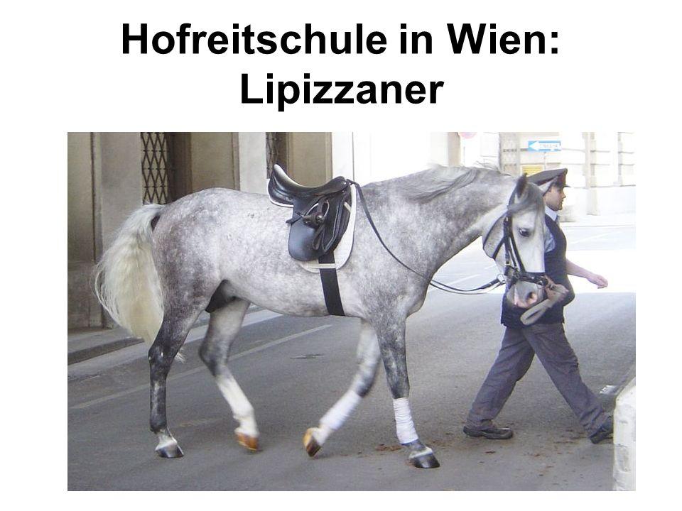Hofreitschule in Wien: Lipizzaner