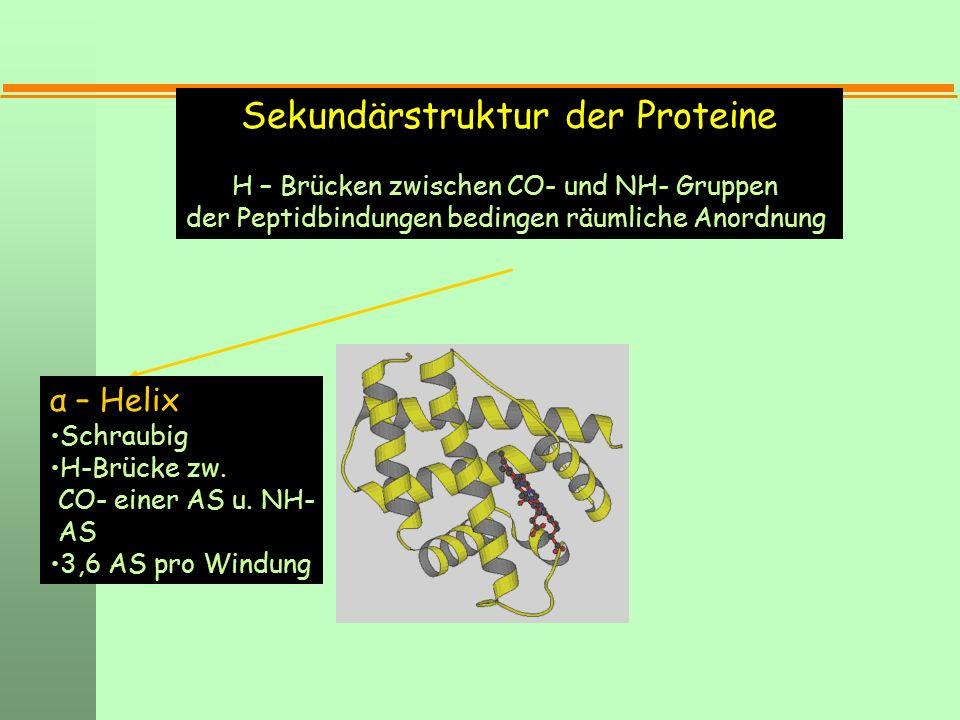Sekundärstruktur der Proteine H – Brücken zwischen CO- und NH- Gruppen der Peptidbindungen bedingen räumliche Anordnung α – Helix Schraubig H-Brücke z