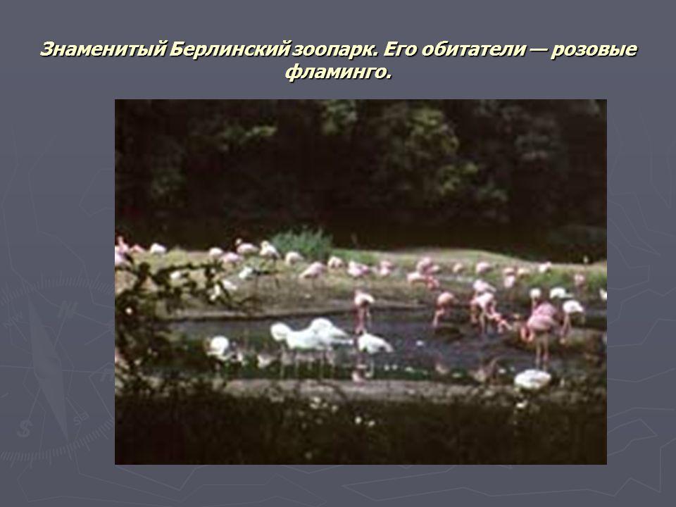 Знаменитый Берлинский зоопарк. Его обитатели — розовые фламинго.