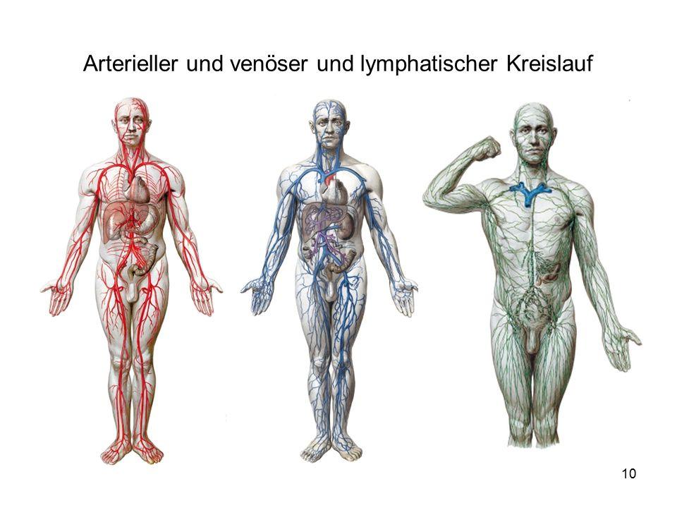 10 Arterieller und venöser und lymphatischer Kreislauf