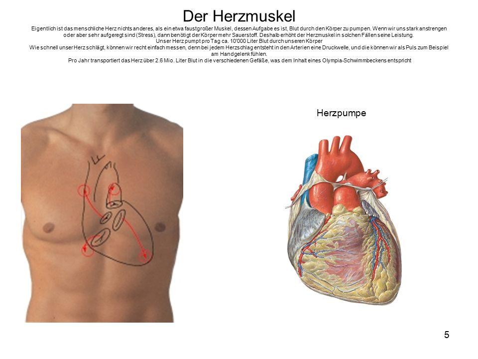 5 Der Herzmuskel Eigentlich ist das menschliche Herz nichts anderes, als ein etwa faustgroßer Muskel, dessen Aufgabe es ist, Blut durch den Körper zu pumpen.