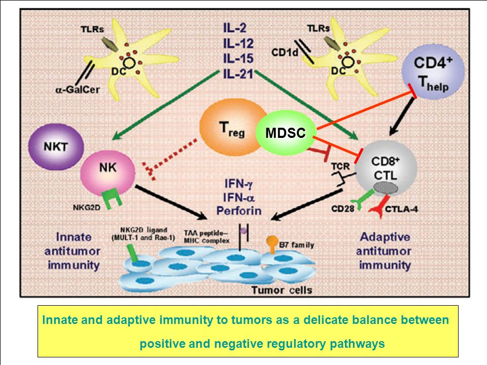 Innate and adaptive immunity to tumors as a delicate balance between positive and negative regulatory pathways MDSC