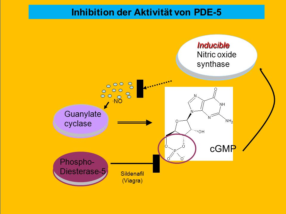 Inducible Nitric oxide synthase Guanylate cyclase ·NO Sildenafil (Viagra) Phospho- Diesterase-5 Inhibition der Aktivität von PDE-5 cGMP