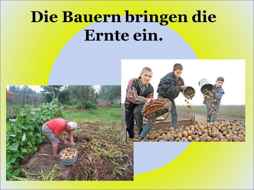 Die Bauern bringen die Ernte ein.