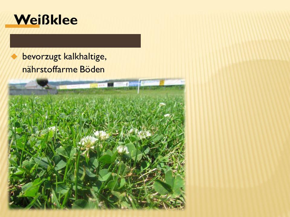Weißklee  bevorzugt kalkhaltige, nährstoffarme Böden