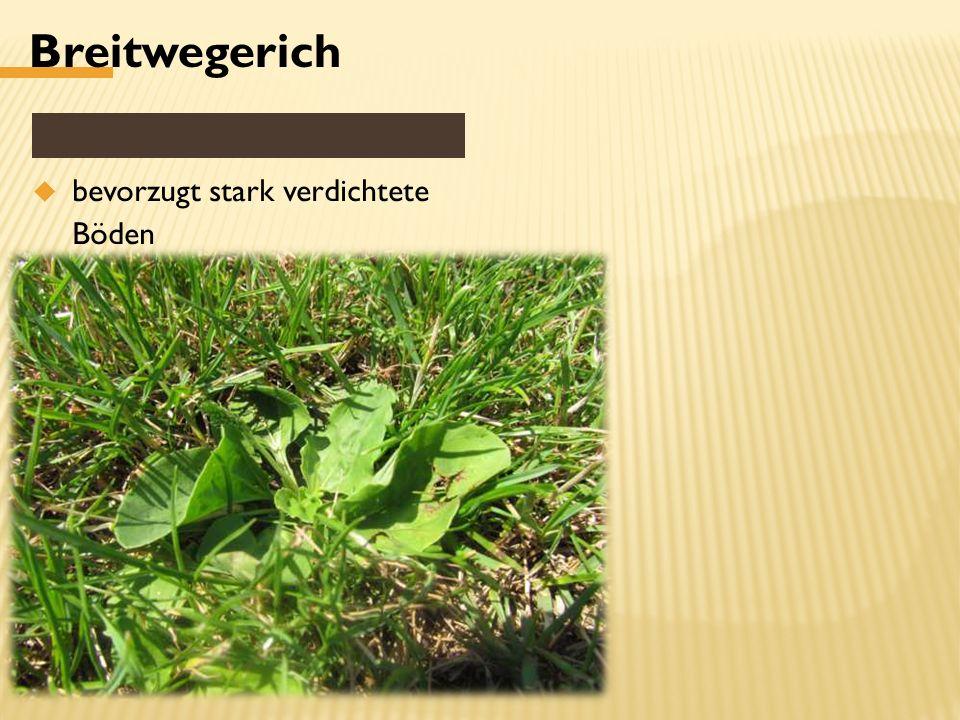 Breitwegerich  bevorzugt stark verdichtete Böden