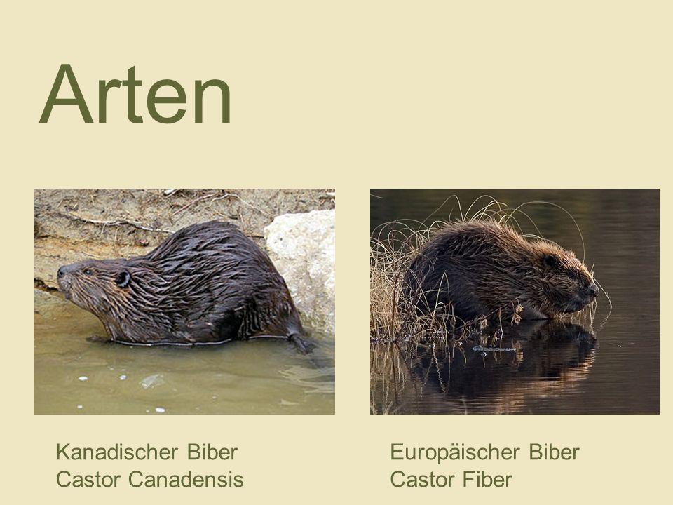 Kanadischer Biber Castor Canadensis Europäischer Biber Castor Fiber Arten
