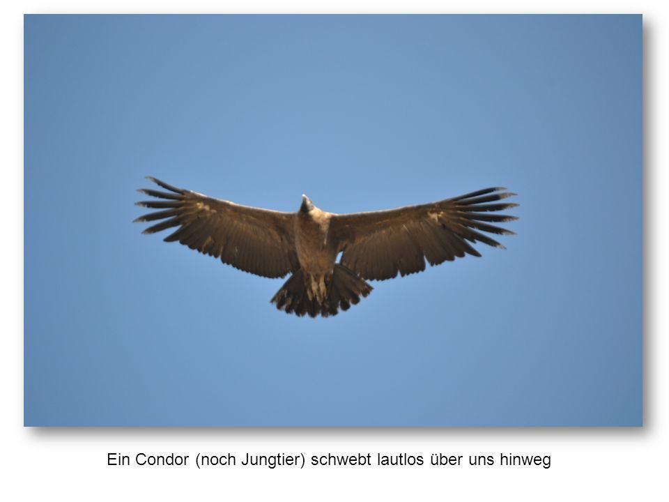 Ein Condor (noch Jungtier) schwebt lautlos über uns hinweg