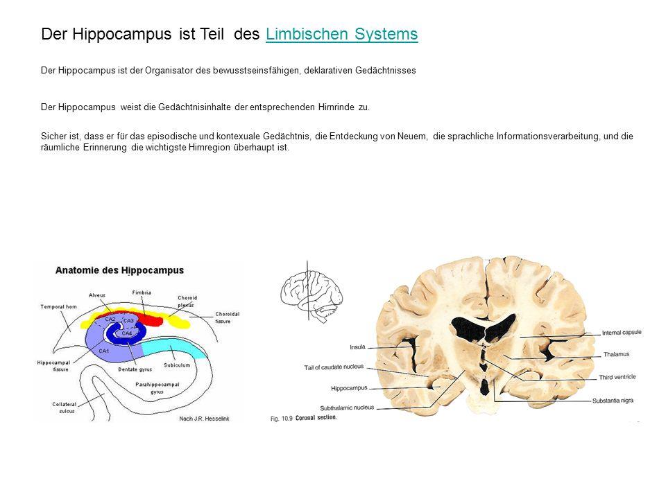 Der Hippocampus ist Teil des Limbischen SystemsLimbischen Systems Der Hippocampus ist der Organisator des bewusstseinsfähigen, deklarativen Gedächtnisses Der Hippocampus weist die Gedächtnisinhalte der entsprechenden Hirnrinde zu.