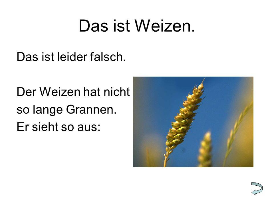Das ist Weizen. Das ist leider falsch. Der Weizen hat nicht so lange Grannen. Er sieht so aus:
