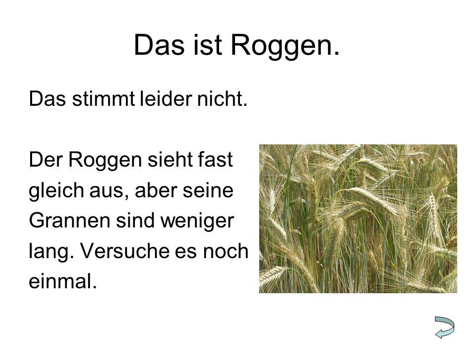 Das ist Roggen. Das stimmt leider nicht. Der Roggen sieht fast gleich aus, aber seine Grannen sind weniger lang. Versuche es noch einmal.