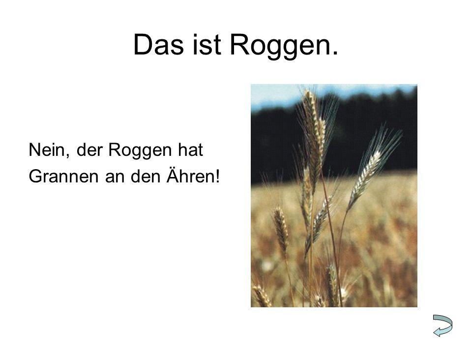Das ist Roggen. Nein, der Roggen hat Grannen an den Ähren!