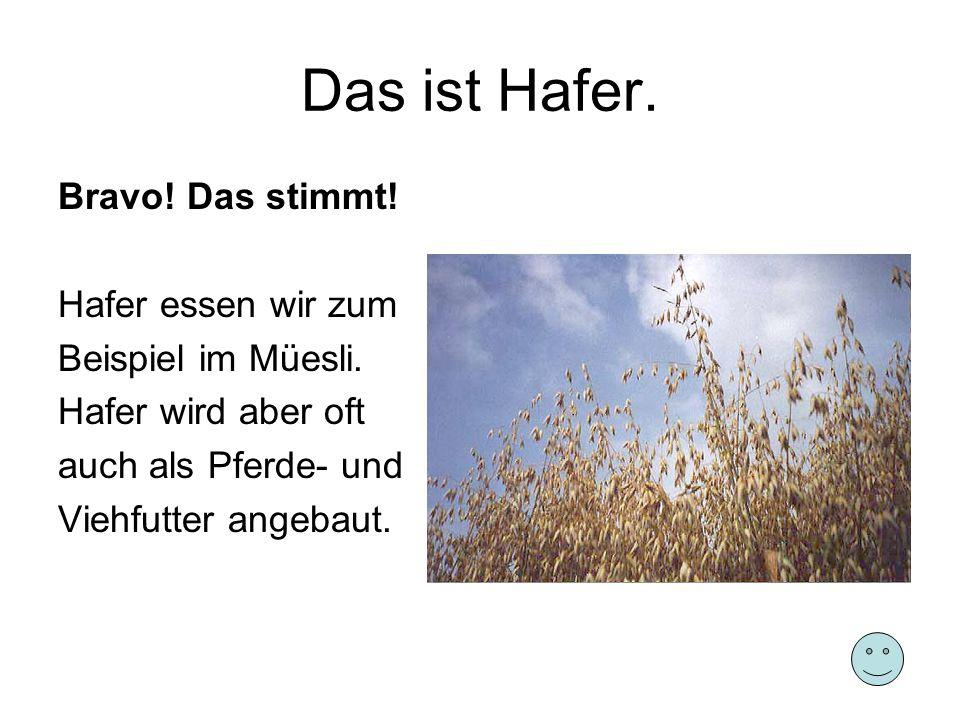 Das ist Hafer. Bravo! Das stimmt! Hafer essen wir zum Beispiel im Müesli. Hafer wird aber oft auch als Pferde- und Viehfutter angebaut.