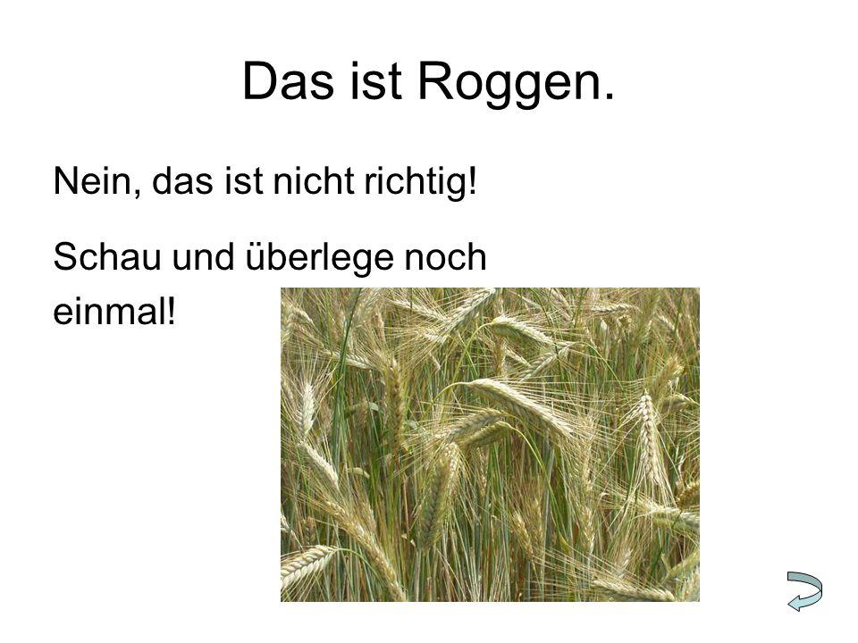 Das ist Roggen. Nein, das ist nicht richtig! Schau und überlege noch einmal!