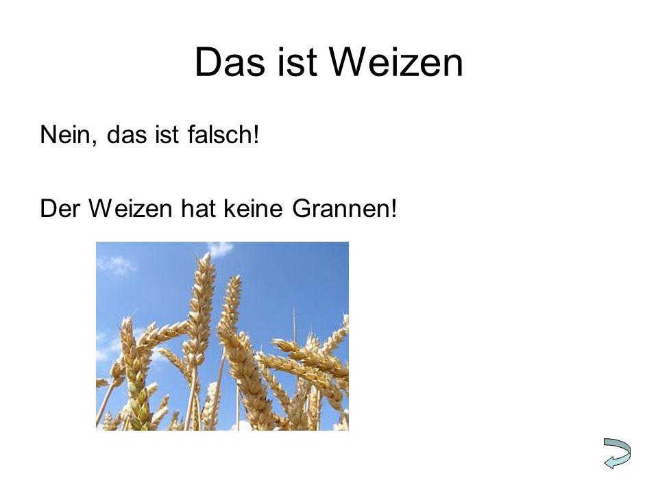Das ist Weizen Nein, das ist falsch! Der Weizen hat keine Grannen!