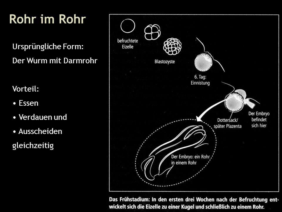 24 Rohr im Rohr Ursprüngliche Form: Der Wurm mit Darmrohr Vorteil: Essen Verdauen und Ausscheiden gleichzeitig