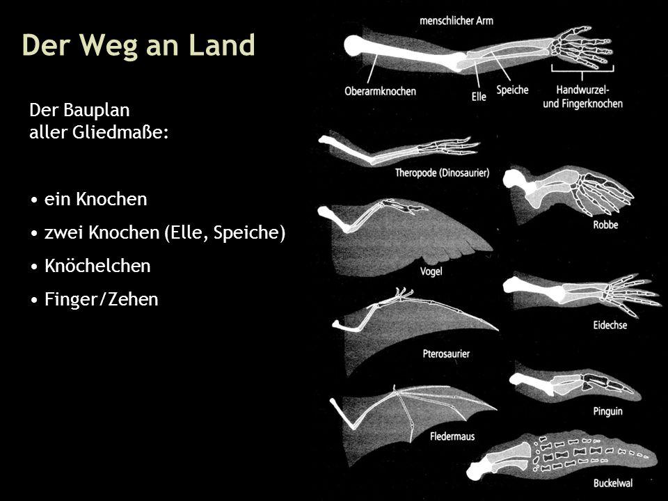 29 Der Weg an Land Der Bauplan aller Gliedmaße: ein Knochen zwei Knochen (Elle, Speiche) Knöchelchen Finger/Zehen