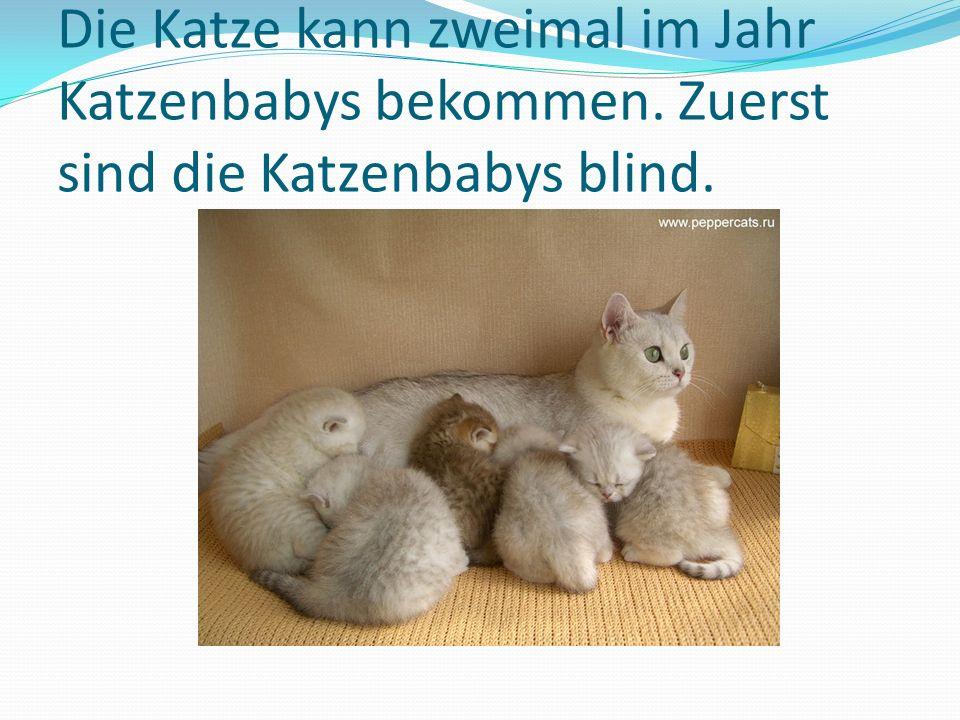 Die Katze kann zweimal im Jahr Katzenbabys bekommen. Zuerst sind die Katzenbabys blind.