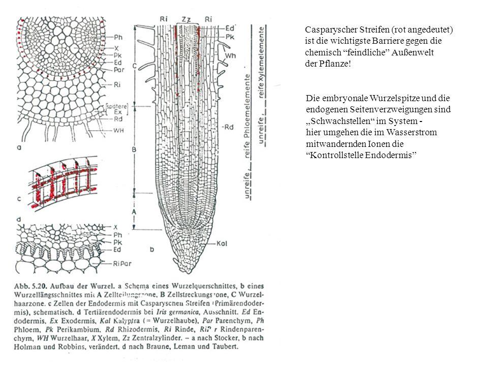 Casparyscher Streifen (rot angedeutet) ist die wichtigste Barriere gegen die chemisch feindliche Außenwelt der Pflanze.