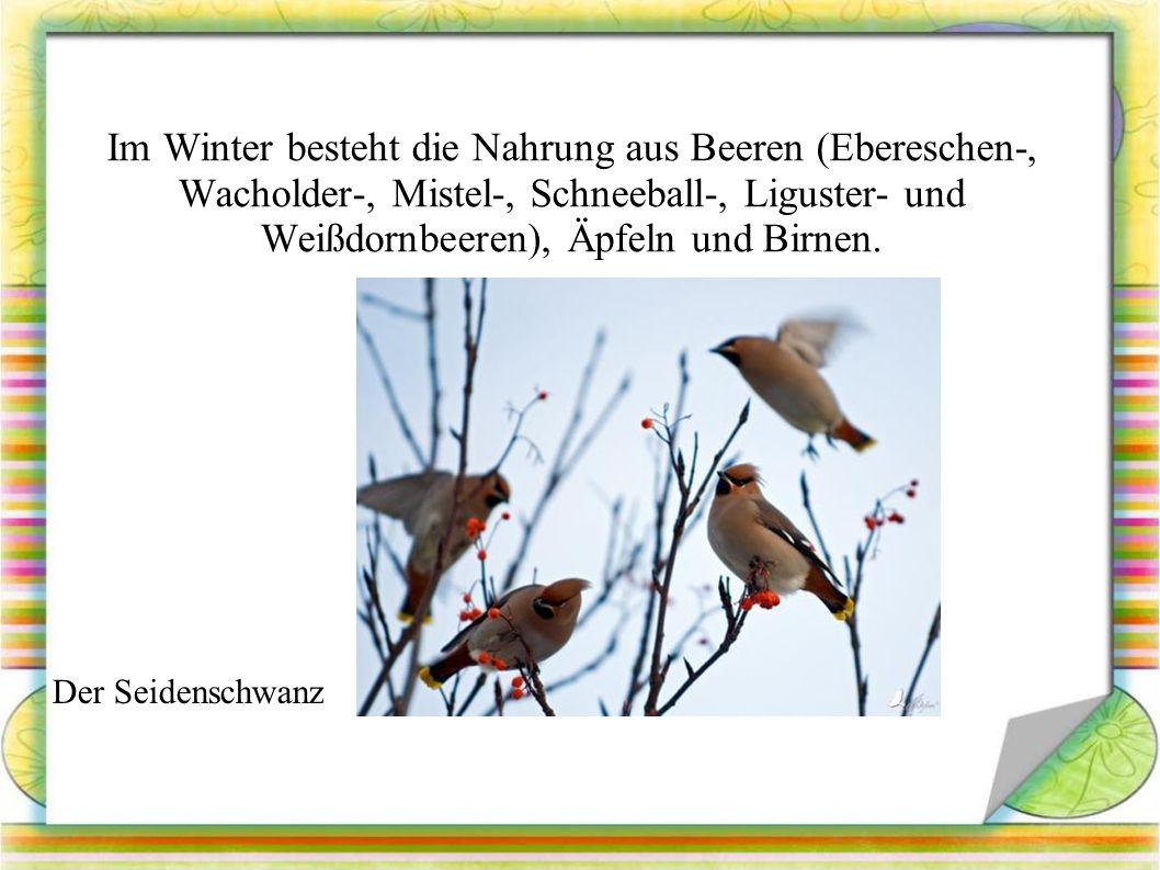 Im Winter besteht die Nahrung aus Beeren (Ebereschen-, Wacholder-, Mistel-, Schneeball-, Liguster- und Weißdornbeeren), Äpfeln und Birnen.