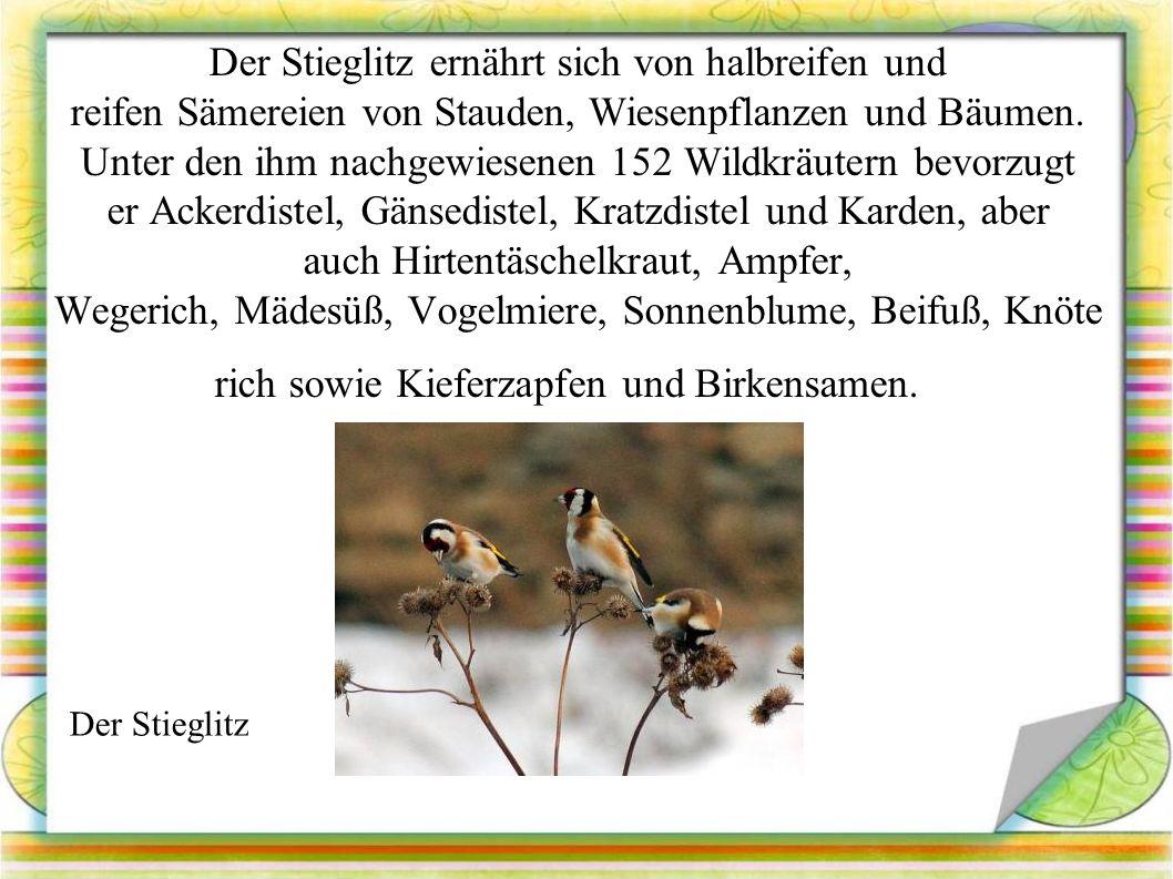 Der Stieglitz ernährt sich von halbreifen und reifen Sämereien von Stauden, Wiesenpflanzen und Bäumen.
