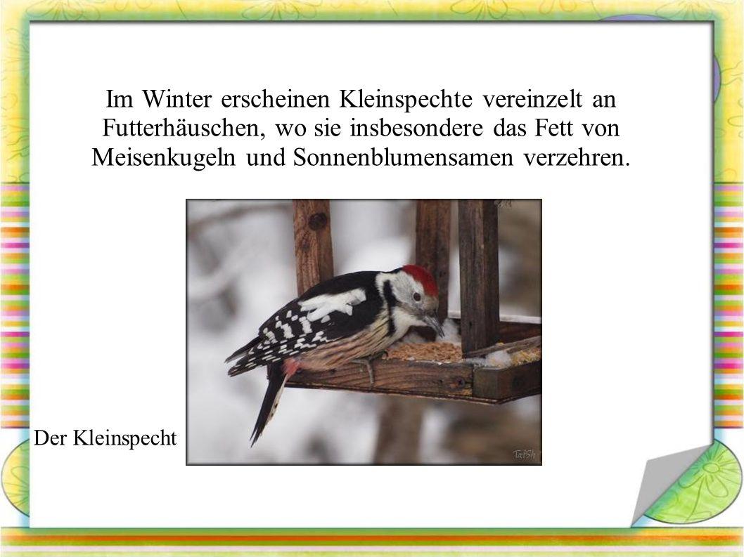 Im Winter erscheinen Kleinspechte vereinzelt an Futterhäuschen, wo sie insbesondere das Fett von Meisenkugeln und Sonnenblumensamen verzehren.