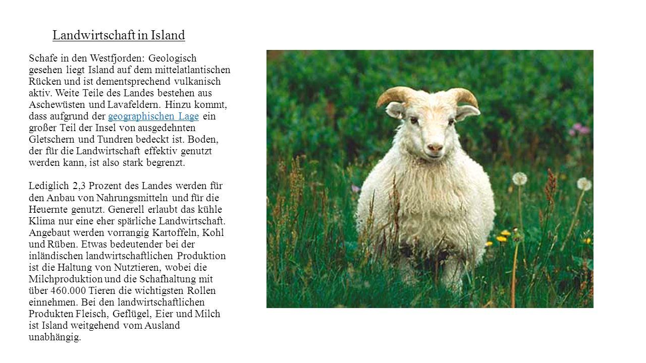 Landwirtschaft in Island Schafe in den Westfjorden: Geologisch gesehen liegt Island auf dem mittelatlantischen Rücken und ist dementsprechend vulkanis