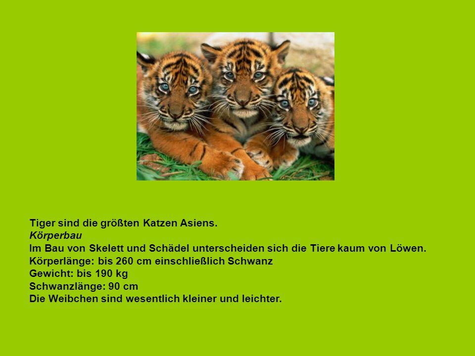 Tiger sind die größten Katzen Asiens. Körperbau Im Bau von Skelett und Schädel unterscheiden sich die Tiere kaum von Löwen. Körperlänge: bis 260 cm ei