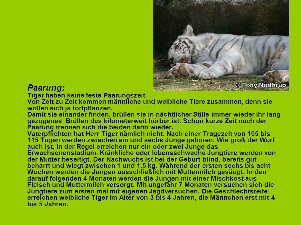 Paarung: Tiger haben keine feste Paarungszeit. Von Zeit zu Zeit kommen männliche und weibliche Tiere zusammen, denn sie wollen sich ja fortpflanzen. D