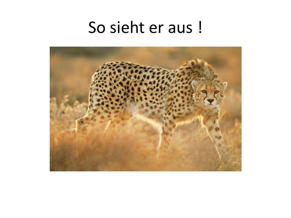 Beschreibung Das Gepardfell hat eine goldgelbe Grundfarbe, wobei die Bauchseite meist deutlich heller ist.