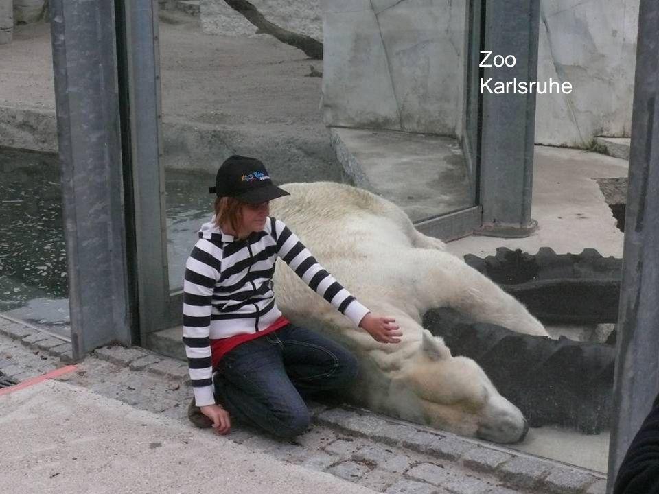 Die Fehler: Distanz zum Publikum Auch bei Glasabsperrung wird die Distanz = Null, denn Bären fressen, ruhen und schlafen ohne Probleme auch in Anwesenheit von Besuchern direkt hinter der Scheibe NTP Goldau Zoo Karlsruhe